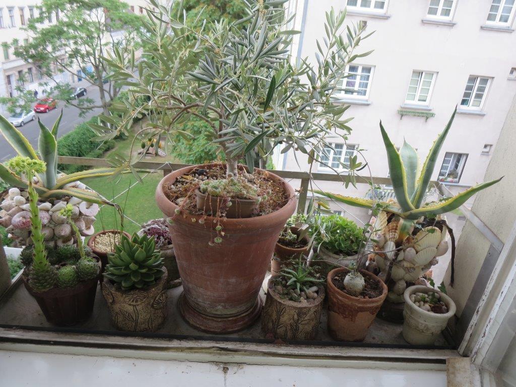 Fenstergarten mit Dickblattpflanzen und Olivenbäumchen
