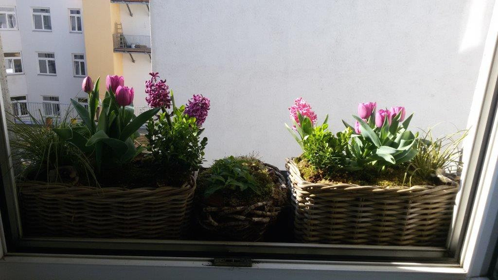 Fenstergarten_Tulpen_Hyazinthen
