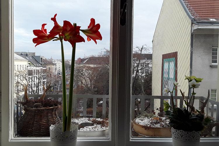 Fenstergarten mit Amaryllis